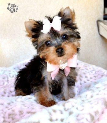 teacup yorkies for sale glasgow 123 best images about stuff to buy on yorkie puppies for sale dogs for