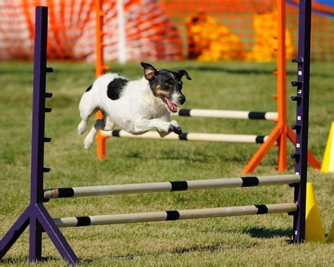 backyard obstacle course for dogs 1000 images about dog obstacle course on pinterest