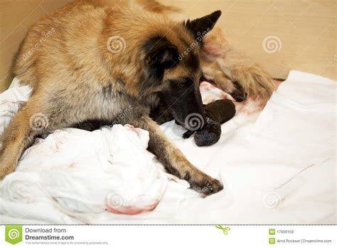 taking care of puppies taking care of newborn puppy royalty free stock images image 17656159