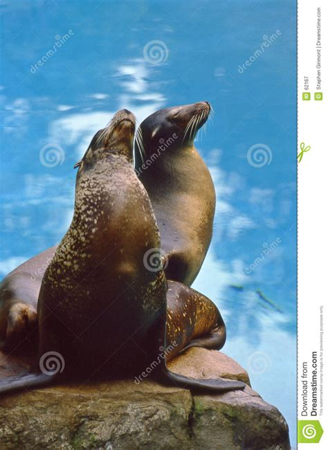film with sea lion in northern sea lions eumetopias jubatus royalty free stock