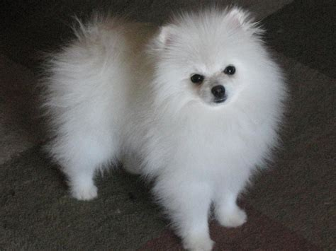 pomeranian black and white black and white pomeranian breeds picture