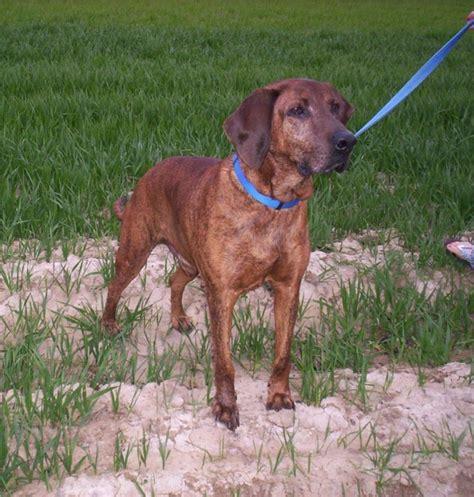 plott hound puppies for sale plott hound puppies breeders hounds