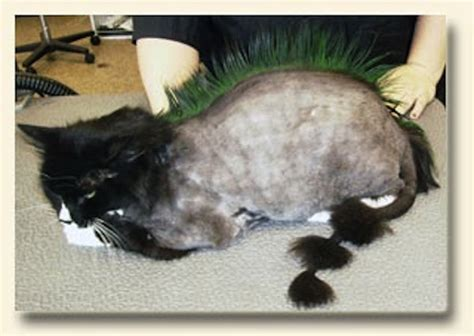 Do Haired Cats Shed by Cat Mohawk Haircut Www Imgkid The Image Kid Has It