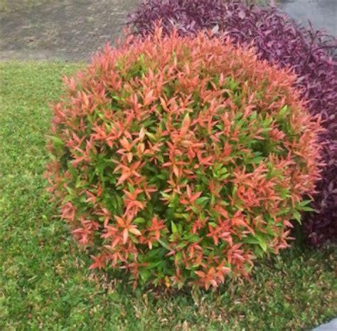 benih pucuk merah