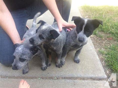 queensland heeler puppies for sale in ca purebred blue queensland heeler puppies for sale in fairfield california classified