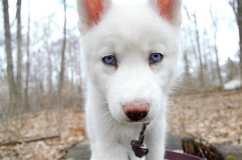 white husky puppies 65 beautiful white siberian husky pictures and images