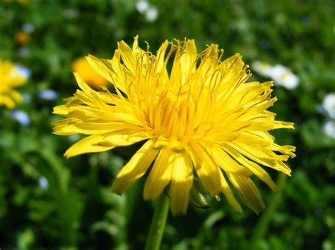 tarassaco fiore tarassaco