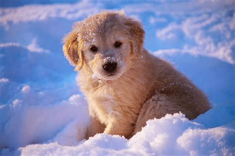 golden retriever in the snow adorable golden retriever puppies in the snow snow addiction news about mountains