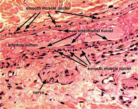 sectioning in histology siu som histology crr