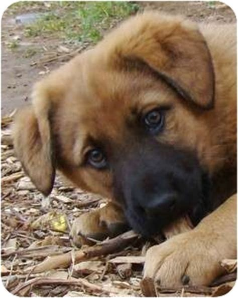 german shepherd puppies tulsa colt adopted puppy tulsa ok great pyrenees german shepherd mix