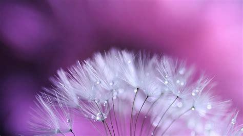 wallpaper flower dandelion dandelion flowers wallpapers hd pictures one hd