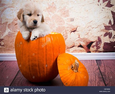 7 week golden retriever 7 week golden retriever puppy sitting in a pumpkin hollowed out stock photo