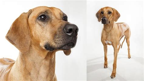 hound dogs breeds rhodesian ridgeback breed selector animal planet