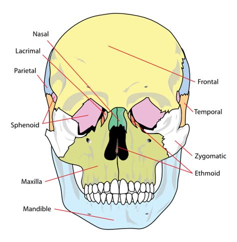 skull diagram labeled human skull front simplified bones clip at clker
