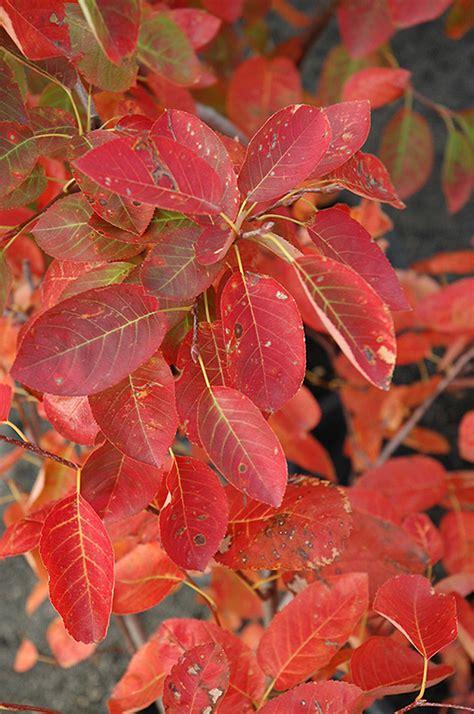 autumn brilliance serviceberry amelanchier  grandiflora