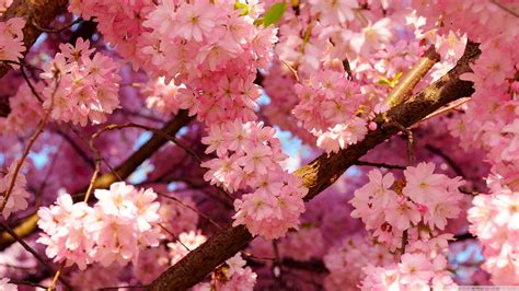 cherry blossoms images japanese cherry tree images cherry blossom hd