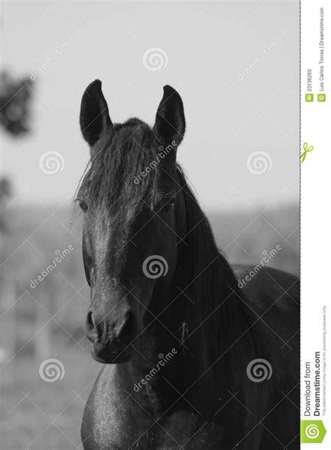 Black and white horse head stock photo. Image of farmland