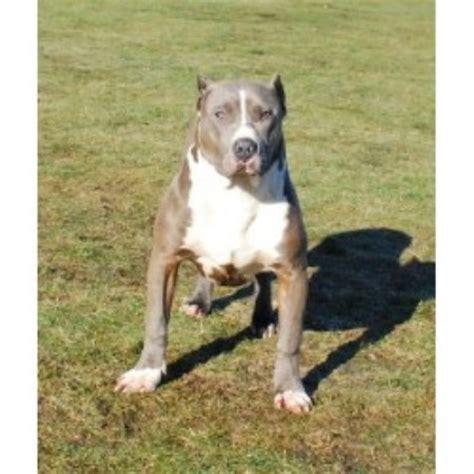 free pitbull puppies michigan shockerline pitbulls american pit bull terrier breeder in