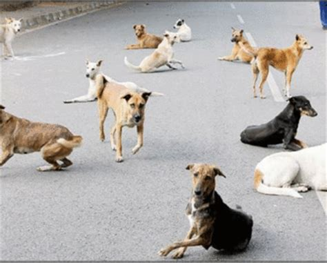 how to house train a stray dog dog attacks no stray incidents 15 761 bengalureans bit in a year bengaluru news