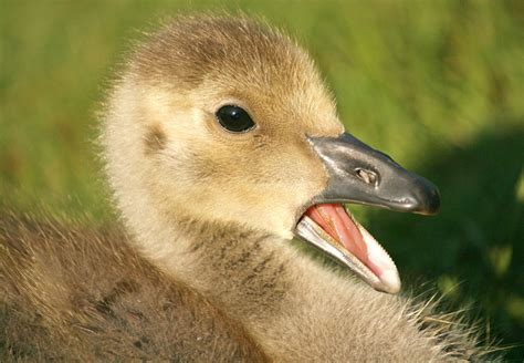 canadian goose baby www pixshark com images galleries with a bite