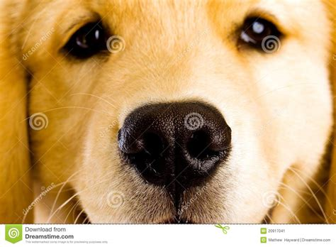 puppy nose puppy nose stock image image 20917041