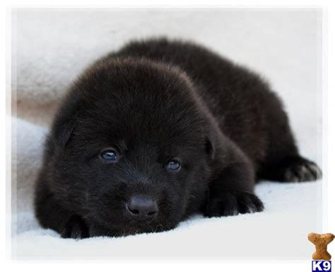 black wolf puppies for sale black wolf pups www pixshark images galleries with