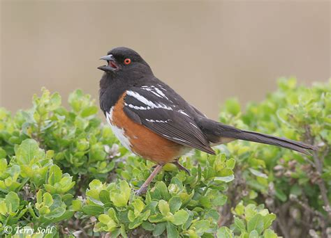singing spotted towhee photo photograph picture