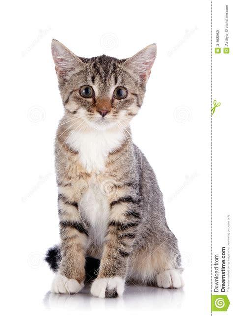 imagenes en blanco de gatos el peque 241 o gatito rayado se sienta en un fondo blanco