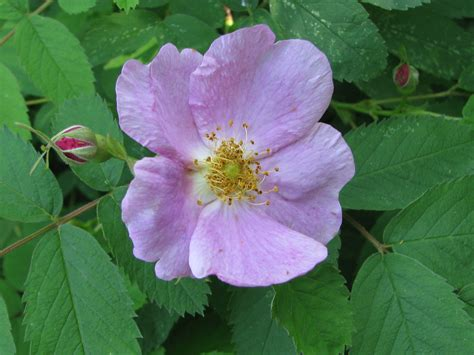 larry s photo a day iowa s state flower state flower of iowa larry s photo a day iowa wild rose