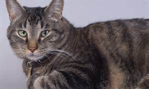 cat give  cancer parasite   bellies
