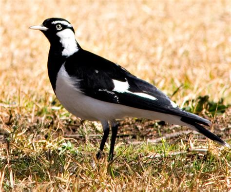 magpie birds in backyards backyar birds