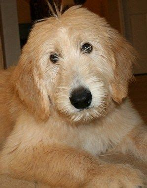goldendoodle puppy ranch goldendoodles goldendoodle puppy breeder