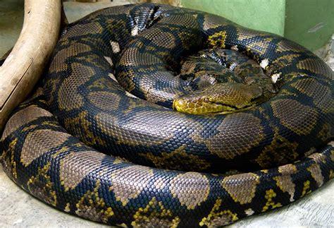 Korek King Yellow Ular Plus Asbak verdens st 248 rste slange netpythonen