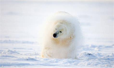 Polar Extinction Essay by Essay On Polar Bears