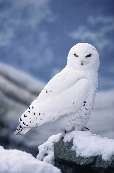 25 best ideas about white owls on pinterest beautiful