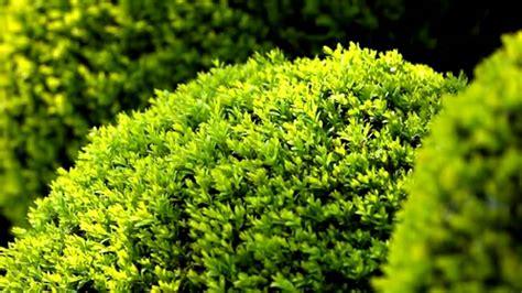 japanese boxwood shrub evergreen plants youtube