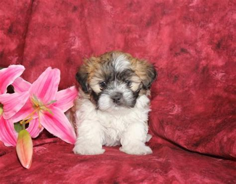 shichon puppies for sale in ga shichon puppies for sale in myideasbedroom
