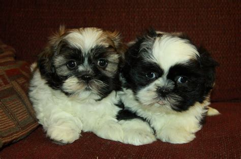 shih tzu puppies for sale ontario brown white shih tzu puppy puppies for sale dogs for sale in ontario canada