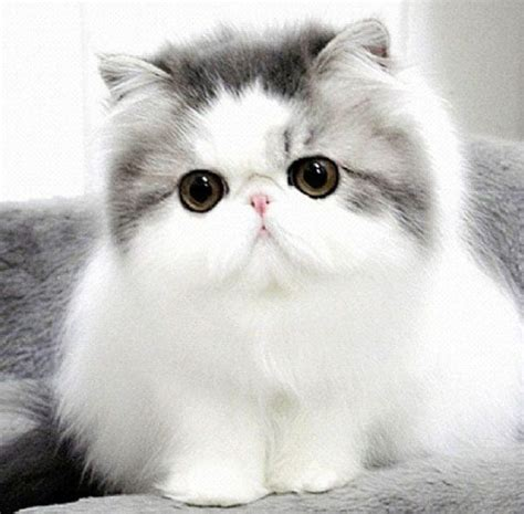 cat breed top 10 cutest cat breeds that will make you smile
