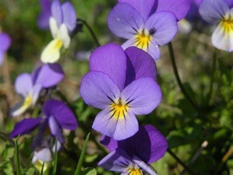 fiori viola significato il significato della viola pensiero significato