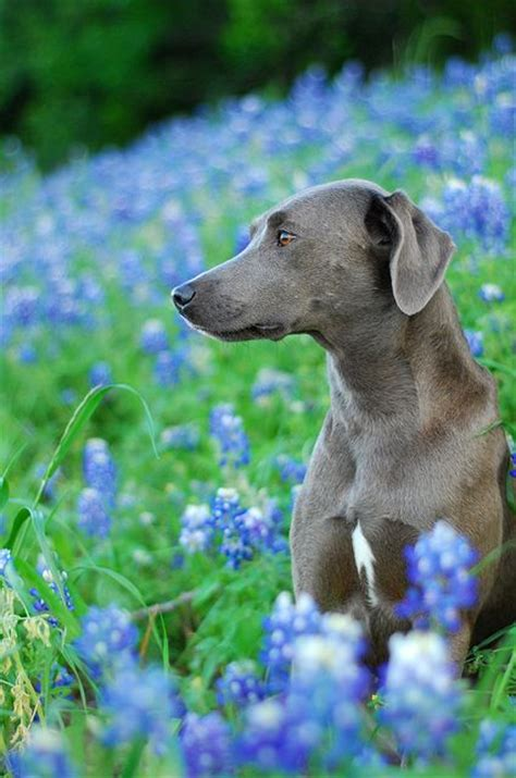 state dogs state breed blue lacy breeds picture