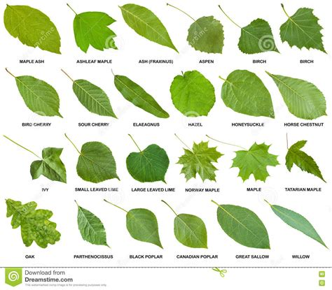 leaves and trees image gallery leaf names