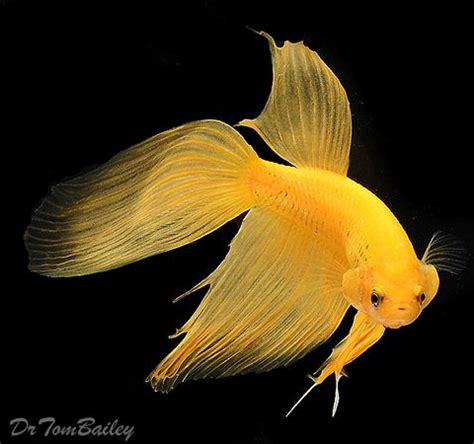 47 Best Images About Beta 318 best betta fish images on betta fish