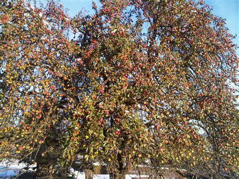 Was Kostet Ein Apfelbaum 2715 by Was Kostet Denn Ein Apfelbaum Herr Krenzer J 252 Rgen