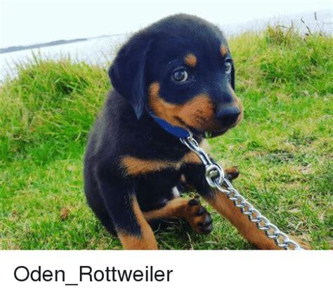 rottweiler memes 25 best memes about rottweiler rottweiler memes