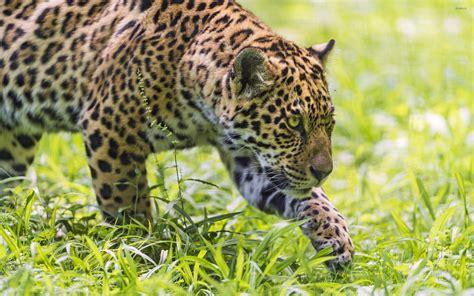 jaguar huntington jaguar wallpaper animal wallpapers 42321