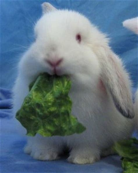 can a eat lettuce image gallery lettuce and rabbits