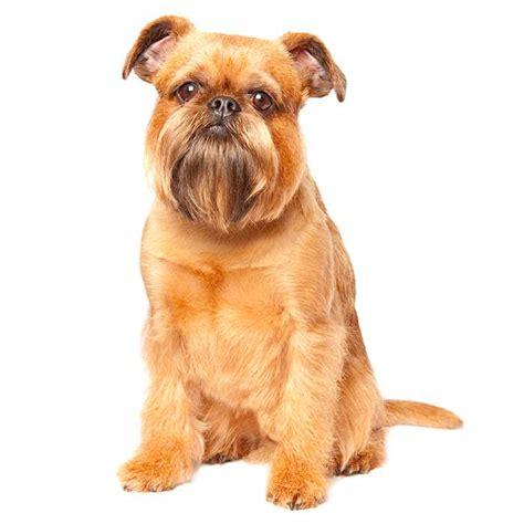 griffon breed brussels griffon brussels griffon pet insurance breed info