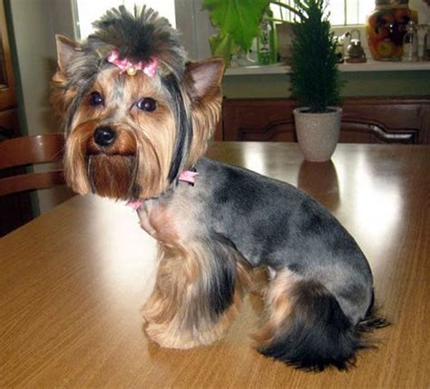 grooming styles for yorkies 17 best yorkies with tails undocked yorkies images on grooming