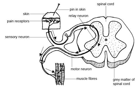 cross section of mammalian spinal cord anatomy and physiology of animals nervous system